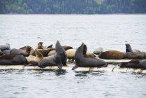 Leoni marini sull'acqua — Foto stock