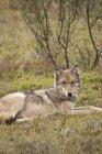 Adultos lobo gris de la manada de Grant Creek sobre la Tundra en paso pedregoso, Parque Nacional de Denali y Preserve, Alaska Interior, otoño - foto de stock