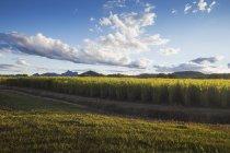 Sugar cane plantations — Stock Photo