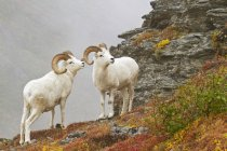 Dall's sheep rams standing by rock — Stock Photo