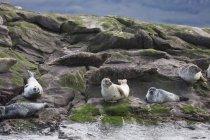 Leoni marini seduti sulla roccia — Foto stock