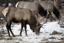 Чоловічий лося і випасу стада — стокове фото