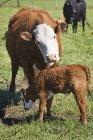 Матері корова пестити її теля — стокове фото