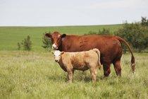 Мать корова и теленок — стоковое фото