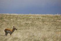 Antilope de Pronghorn dans le champ d'herbe — Photo de stock