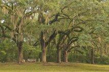 Дерева в parkway Натчез трасування — стокове фото