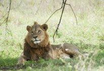 Leone che si siede nell'erba — Foto stock