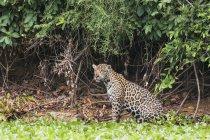 Cacce al femminile jaguar — Foto stock