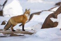 Лисиця руда стоячи на узбережжі — стокове фото
