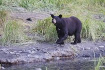 Black bear walks — Stock Photo