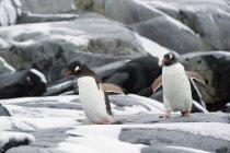 Gentoo penguins walking — Stock Photo