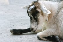 Goat at the granby zoo — Stock Photo