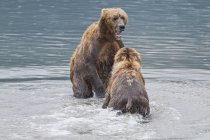 Two coastal brown bears — Stock Photo