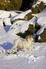 Овец Dall ОЗУ в глубоком снегу — стоковое фото