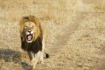 Löwen Gähnen als Spaziergänge nach unten — Stockfoto