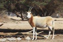 Sahara oryx standing — Stock Photo