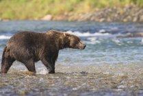 Orso bruno che cammina in acque poco profonde — Foto stock