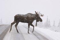 Vista laterale di bull moose Antlers enorme incrocio strada nella neve — Foto stock