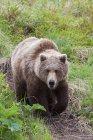 Urso pardo caminha ao longo de uma trilha — Fotografia de Stock