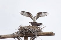 Two hawks in straw nest — Stock Photo
