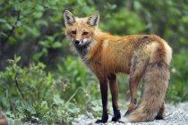 Red fox feminino em pé — Fotografia de Stock