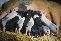 Поросенок поросята сеять свинья — стоковое фото