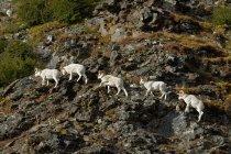 Béliers de mouflons de Dall — Photo de stock