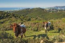 Корови в полі з численними вітрових турбін — стокове фото
