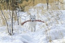 Polarfuchs im weißen Winter phase — Stockfoto