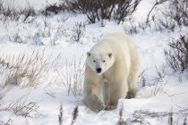 Полярний ведмідь, ходьба — стокове фото