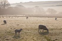 Sheep grazing on frosty field in fog — Stock Photo