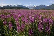 Мальовничим видом, поля із кропиви з Менденхолл льодовик і вежі влітку фону, Південно-Східної Аляски, — стокове фото