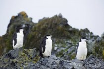 Chinstrap penguins  standing on rocks — Stock Photo
