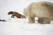 Полярный медведь, пытаясь поймать Фокс — стоковое фото
