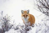 Лисиця руда на снігу — стокове фото