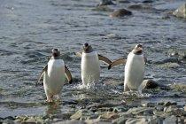 Três Pinguins andando — Fotografia de Stock