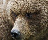 Brown Bear In Hallo Bay — Stock Photo