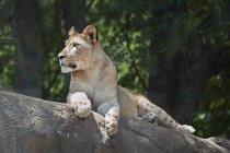 Lion repose sur la roche — Photo de stock