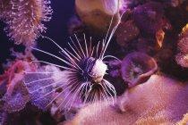 Clearfin turkeyfish nuoto — Foto stock