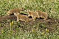 Молоді prairie собаки — стокове фото