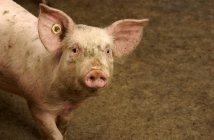 Porco com tag na orelha em instalações de confinamento de porco. Iowa, Estados Unidos da América — Fotografia de Stock