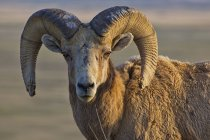 Parco nazionale di badlands di Bighorn sheep — Foto stock