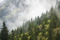 Trees in a forest shrouded in cloud — Stock Photo