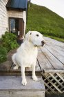 Dog Sits On Wooden Porch — Stock Photo