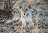 Lion est assis sur l'herbe — Photo de stock