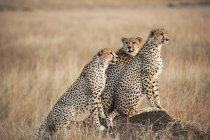 Três guepardos juntos — Fotografia de Stock