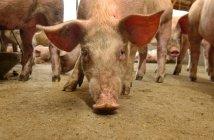 Porcos com etiquetas nas orelhas em instalações de confinamento de porco. Iowa, Estados Unidos da América — Fotografia de Stock