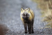 Fox standing on road — Stock Photo