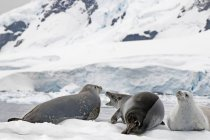 Crabeater seals laying on snow — Stock Photo