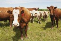 Rinder auf einem Feld mit drei Kälbern — Stockfoto